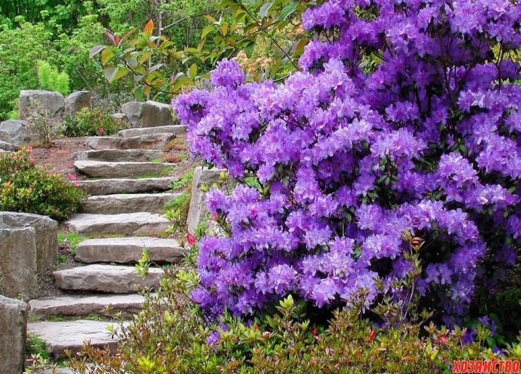Цветущие рододендроны2.jpg
