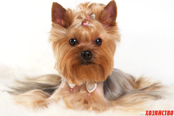 Декоративные собаки