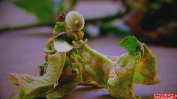 Курчавость листьев персика.jpg