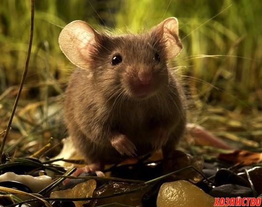 мышка.jpg