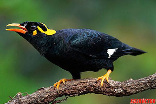 Скачать видео про птицу священная майна фото 93-258