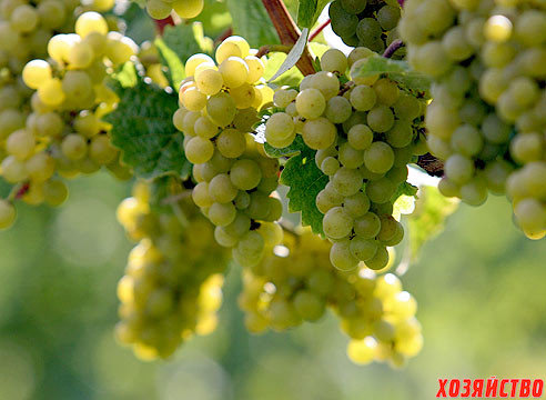 grozdi vinograda.jpg