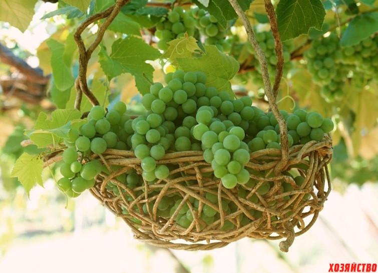 Об укрывных и неукрывных сортах винограда.jpg
