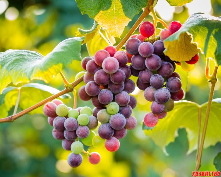 Посадка чубуков винограда при помощи лома4.jpg