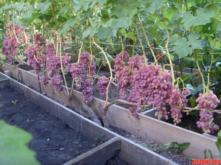 Сорт винограда Ризамат.jpg