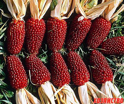 Земляничная кукуруза2.jpg