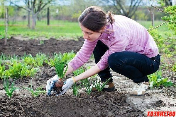 Выращиваем лук на зелень.jpg