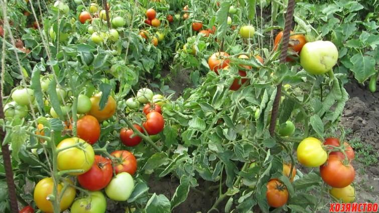 15.00 Йод и медный купорос спасают мои помидоры.jpg
