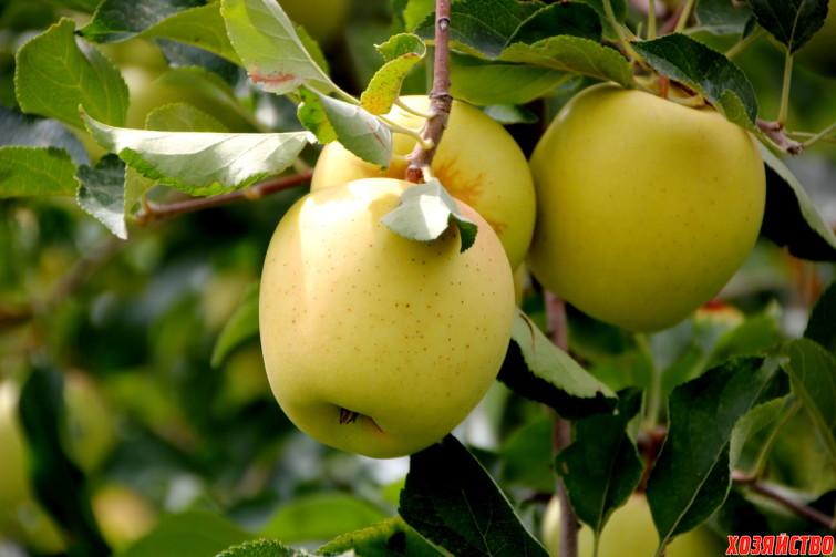 Проблемы с яблоней Голден Делишес.jpg
