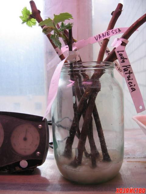 Как посадить чубуки винограда в домашних условиях