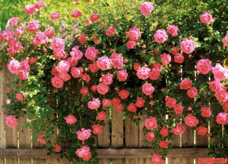 Выращивание розы из семян2.jpg