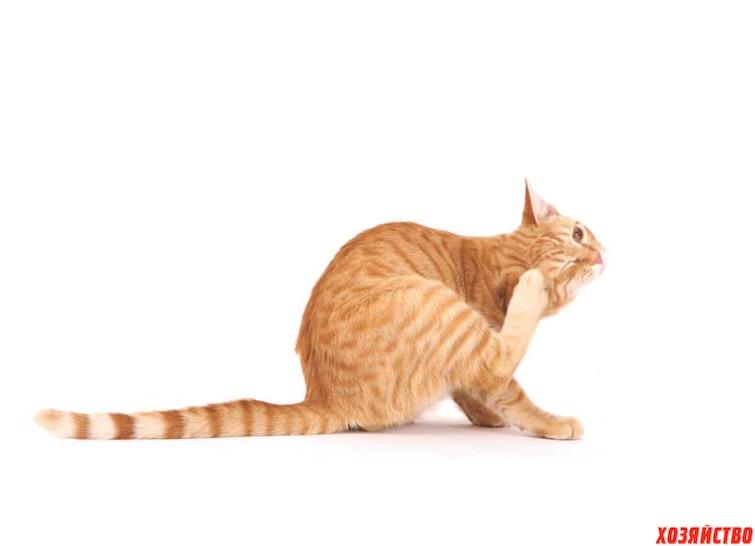 У кота подкожный клещ.jpg