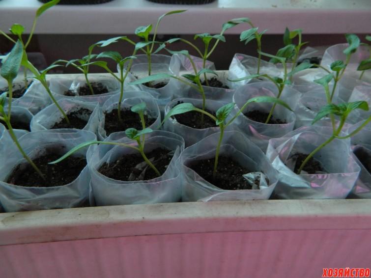 Посадка рассады помидор в пеленку 1