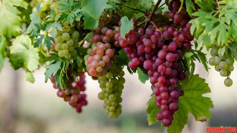 Мои советы  по выращиванию винограда3.jpg