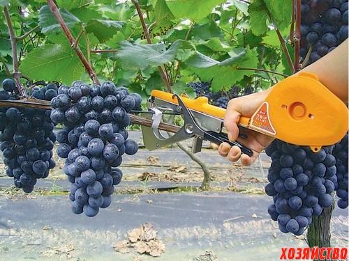 Подвязка винограда_500.jpg