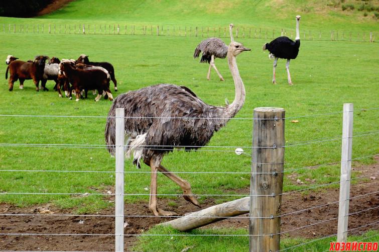 Разведение страусов.jpg
