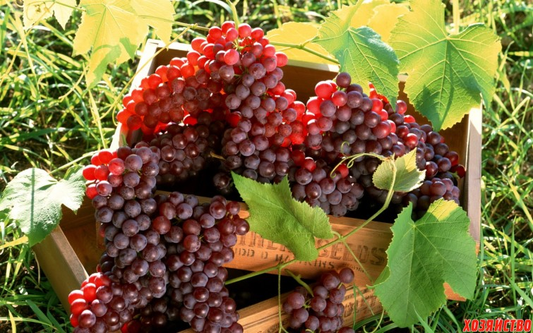 Можно ли из виноградных листьев делать компост.jpg