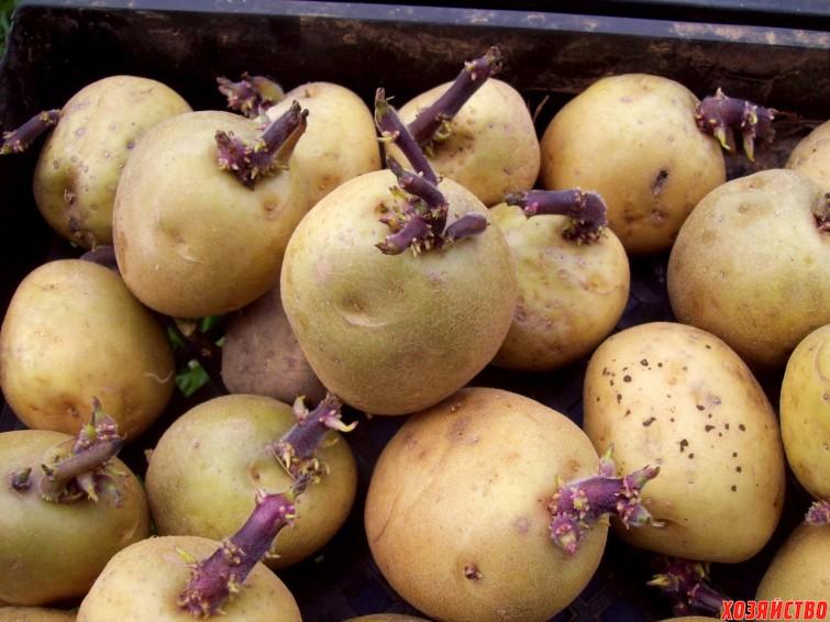 семенной картофель.jpg