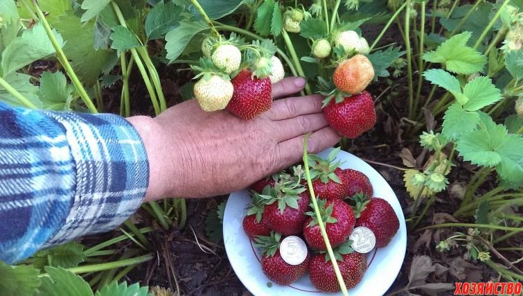 Урожай клубники. Как бороться с вредителями клубники.jpg