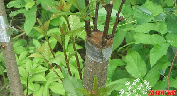 прививка деревьев.jpg