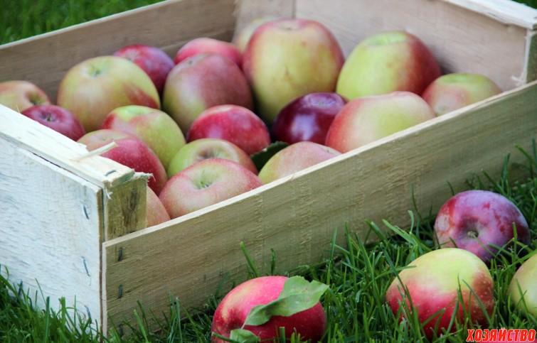 Хранение яблок в яме.jpg