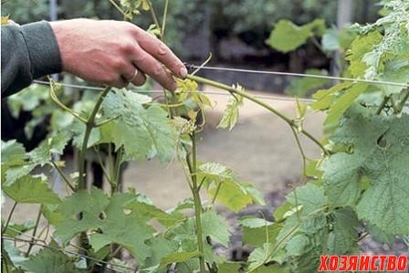 чеканка винограда.jpg