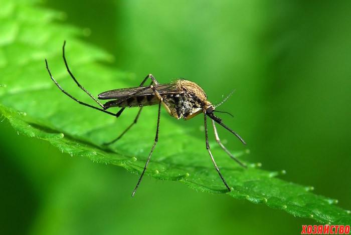 растения от комаров.jpg