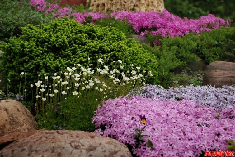 Растения-коврики для вашего цветника3.jpg