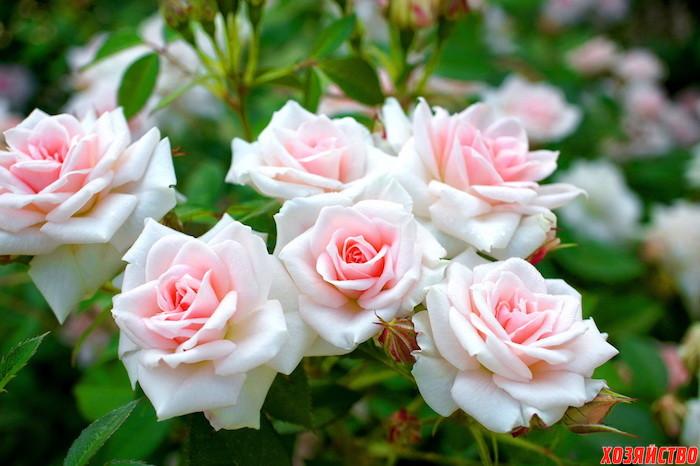 Летние заботы о розах.jpg