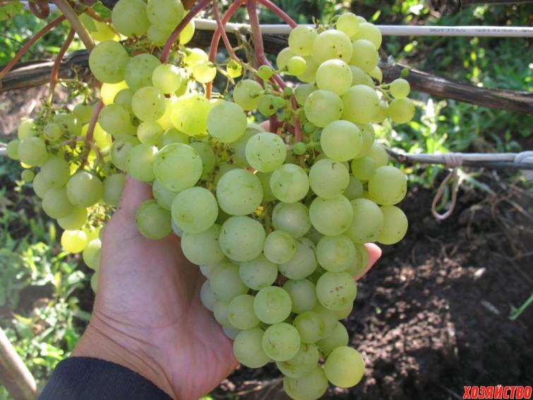 сорт винограда золотинка фото и описание