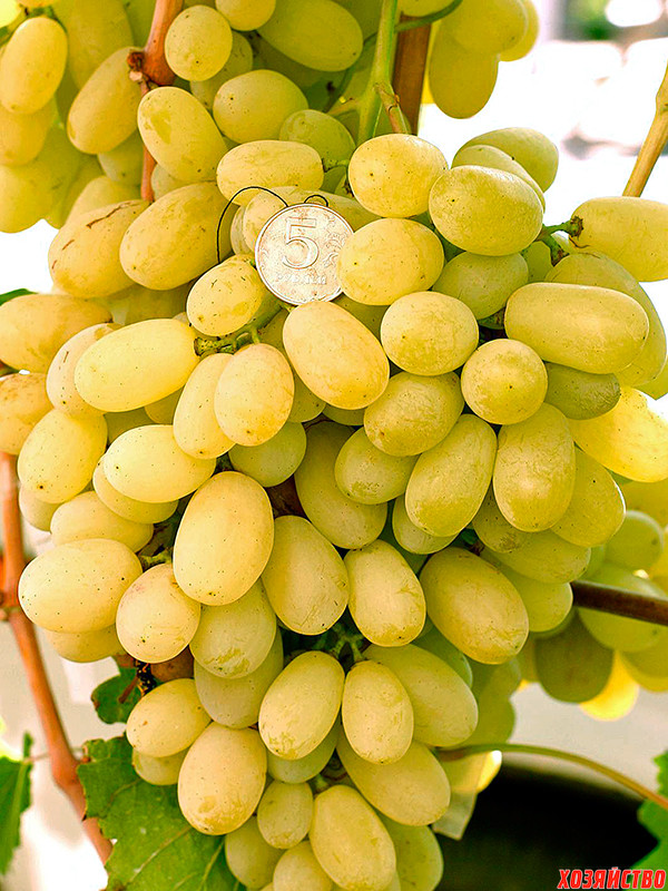виноград укрывной_Лора.jpg