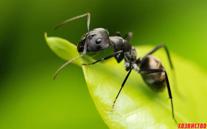 Как вывести вредных муравьев с участка01.jpg