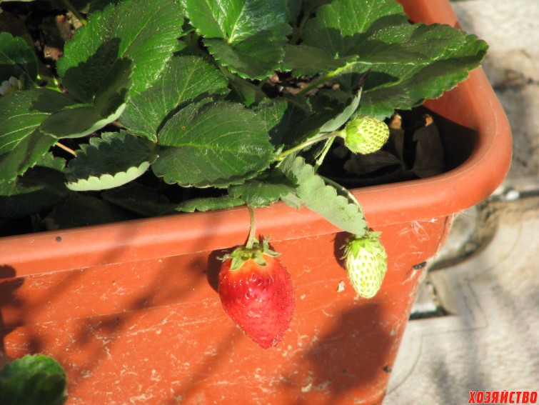 6. А вот и первая сентябрьская ягодка.jpg