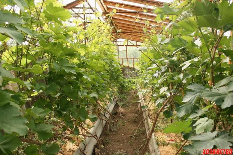 Как вырастить виноград в теплице.jpg
