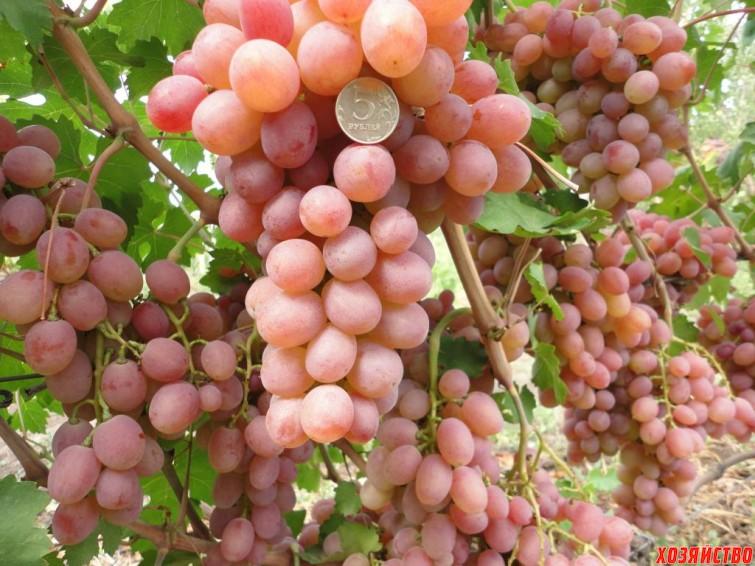 Сорт винограда Ливия.jpg
