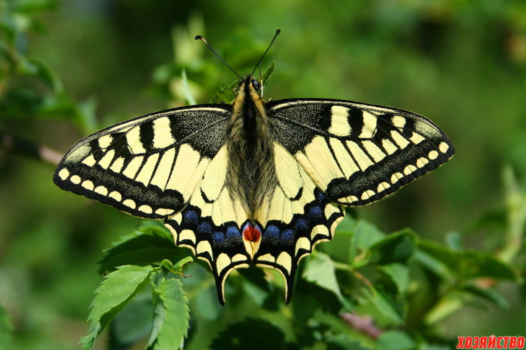 Papilio_Machaon_JPG1a.jpg