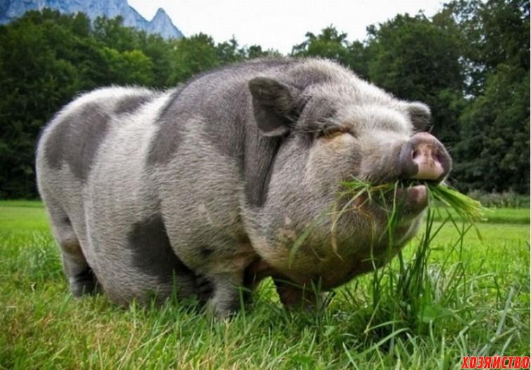 Вислобрюхие свиньи.jpg