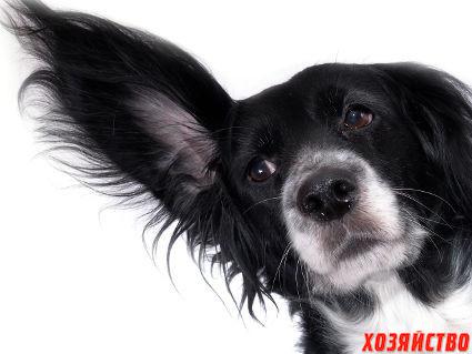 ушной клещ у собаки.jpg