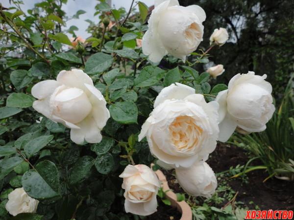 Розы под слоенками расцветают во всей красе.JPG