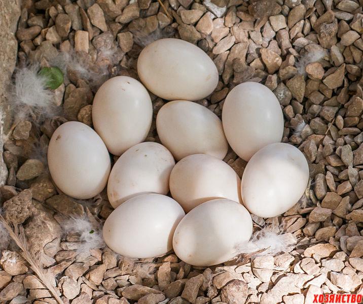 утиные яйца.jpg