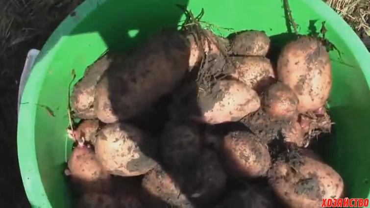 Урожай картошки из соломы.jpg