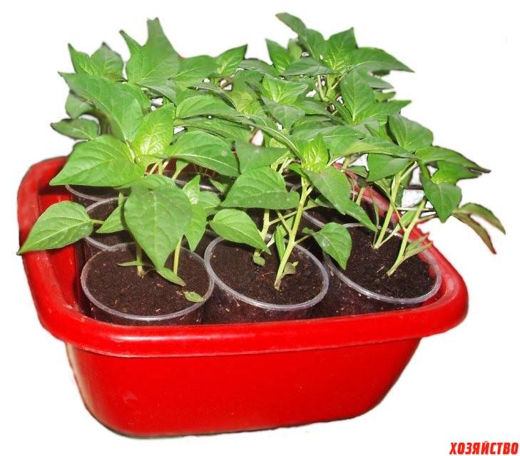 Можно ли баклажаны выращивать без рассады2.jpg
