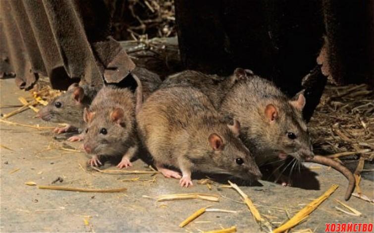 В курятнике поселились крысы.jpg