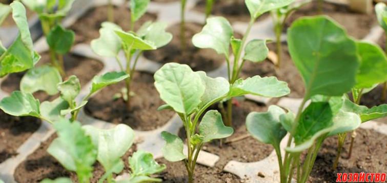 Выращивание брокколи в открытом грунте.jpg