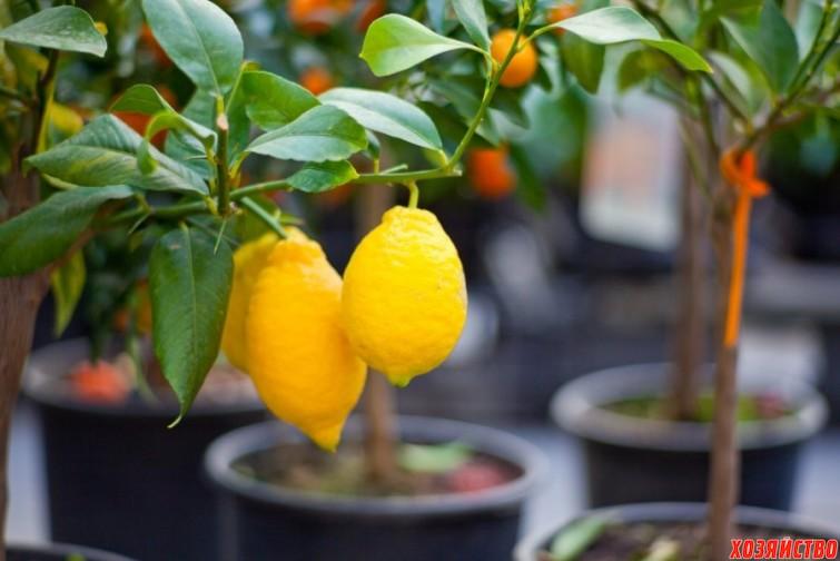 Citrus_tree_1.jpg