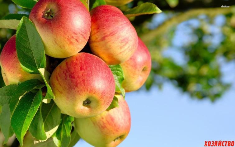 Современные сорта яблонь – альтернатива «старичкам»  3.jpg