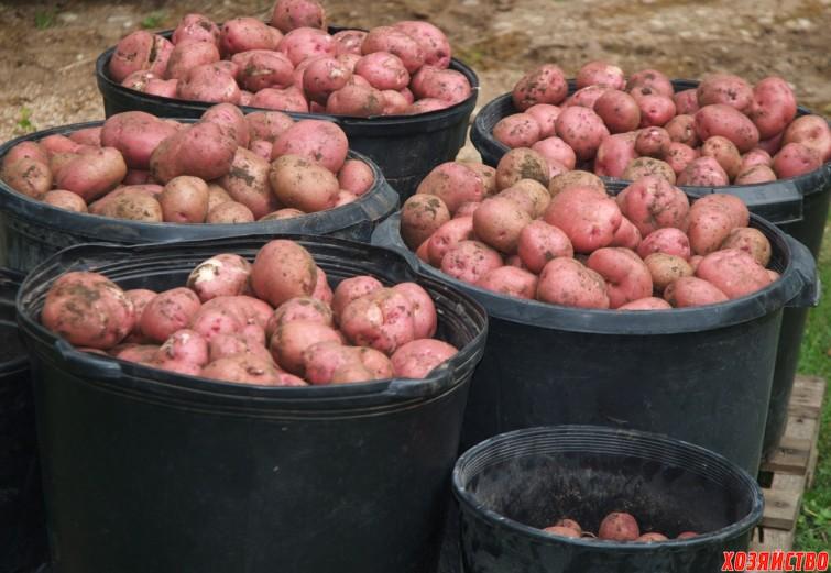 Урожай картофеля.jpg