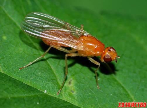 морковная муха2.jpg