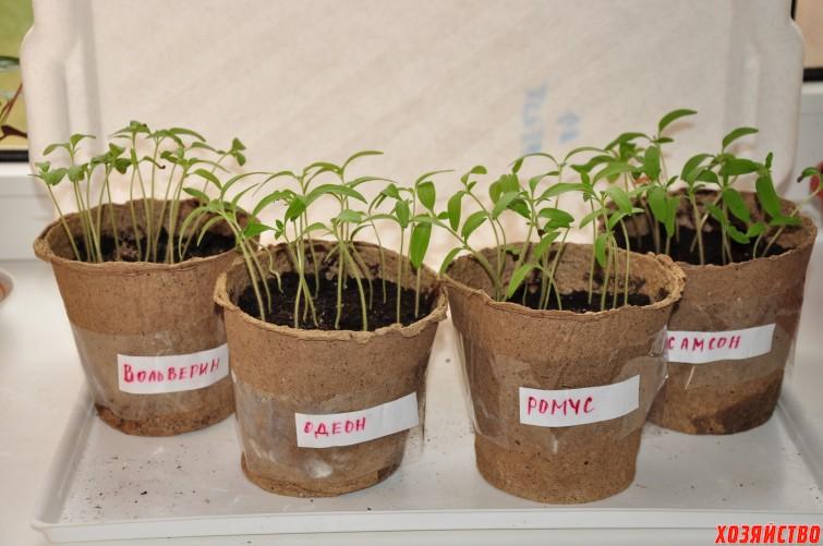 Это рассада томатов сортов Вольверин, Одеон, Ромус, Самсон..jpg