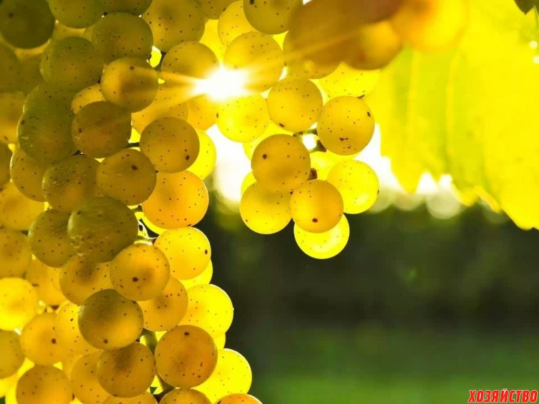 makro+vinograd+zolotistij+solntce+99554183216 (1).jpg